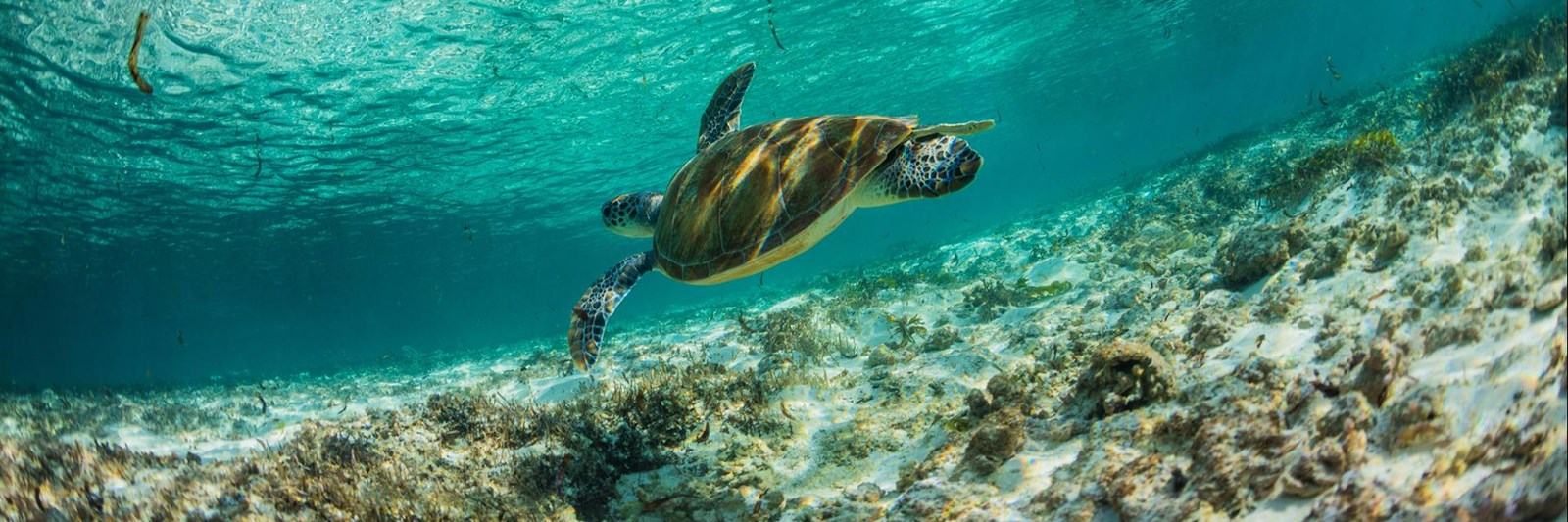 Marine Life Conservation. Sea Turtle at Bird Island Seychelles