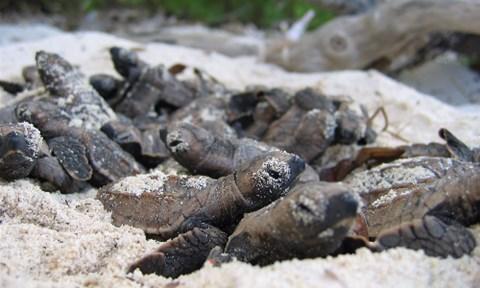 Sea turtle hatchlings on Bird Island Seychelles