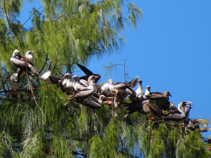 Red footed boobies in tree on Bird Island Seychelles by Chris Feare