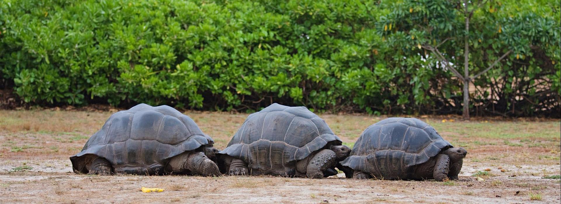 Tortoises, Bird Island Seychelles