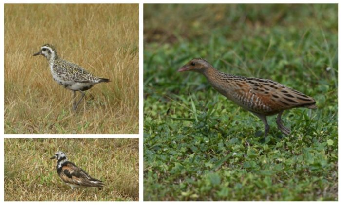Bird Sightings: (Left) Pacific Golden Plover & Ruddy Turnstone by Chris Feare, (Right) Corncrake by Olaf Zesch