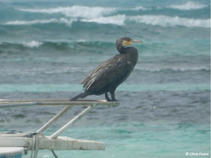 Great Cormorant perched on boat at Bird Island Seychelles by Chris Feare